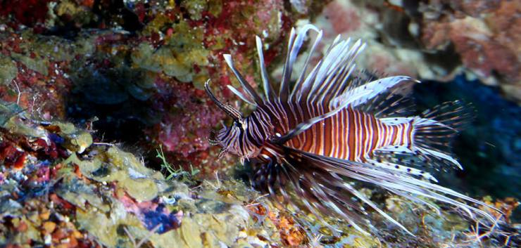 lionfish-factsheet