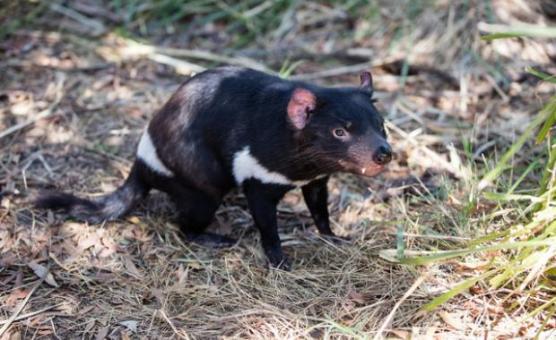 5504_tasmanian devils_healesville sanctuary (1)
